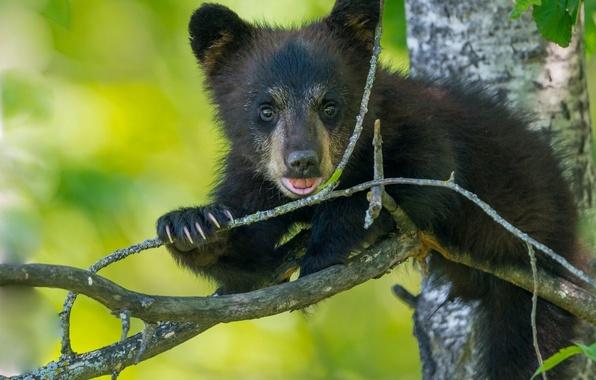 Картинка дерево, ветка, медведь, медвежонок, детёныш, барибал