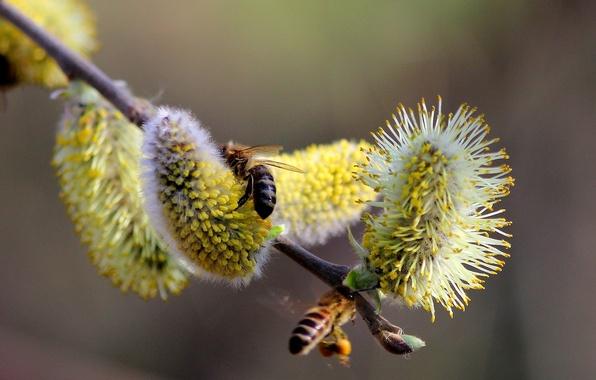 Картинка ветки, природа, пыльца, весна, почки, верба, пчёлы