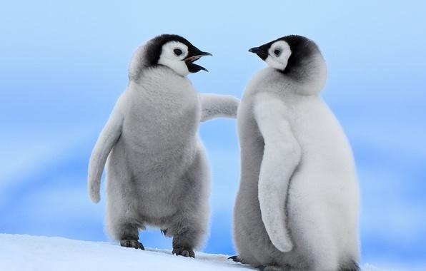 Фото обои птицы, пингвины, снег, зима