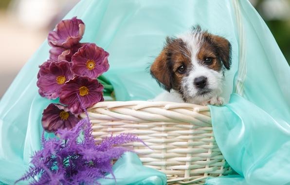 Картинка цветы, корзина, щенок, ткань, джек-рассел-терьер