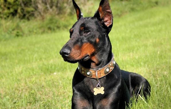 Картинка трава, собака, доберман