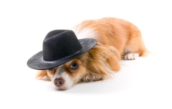 Картинка собака, шляпа, белый фон, рыжая