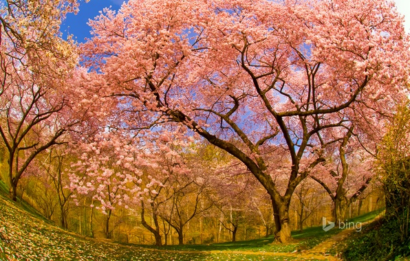 Картинка вишня, весна, сад, Вашингтон, США, цветение, округ Колумбия, Думбартон-Окс