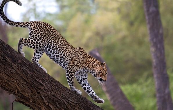 Картинка дерево, леопард, leopard