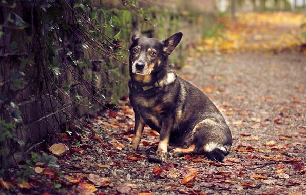 Картинка осень, листья, природа, стена, собака, сидит