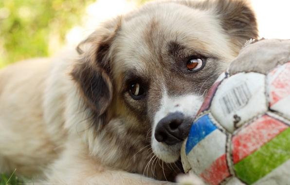 Картинка игра, мяч, собака
