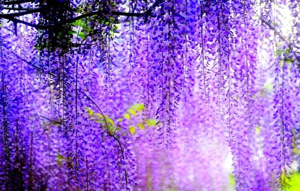 Картинка деревья, цветы, размытость, цветение, гроздья, Глициния
