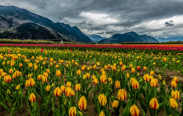 Картинка поле, облака, снег, пейзаж, цветы, горы, природа, тюльпаны, landscape, nature, clouds, mountain, snow, tulips, field …