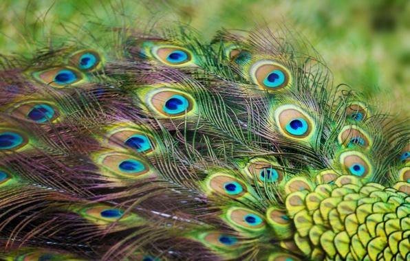 Картинка перья, павлин, окрас