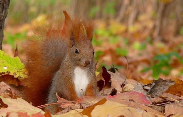 Картинка осень, листья, белка, squirrel