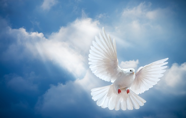 Картинка небо, свет, птица, мир, white, peace, лучи солнца, sky, dove, pigeon, белый голубь, sunrays