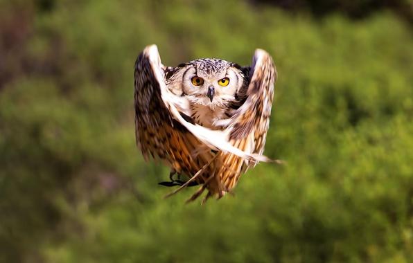 Картинка полет, сова, птица, крылья, размытость, bird, owl