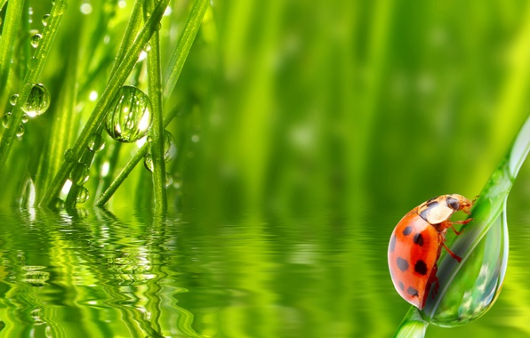 Картинка трава, вода, капли, роса, божья коровка, утро, насекомое