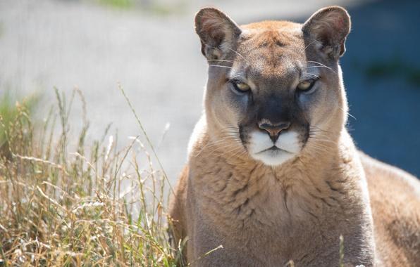 Картинка хищник, пума, дикая кошка, горный лев, кугуар