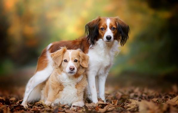 Картинка осень, собаки, листья, парочка, боке, Бретонский эпаньоль, Коикерхондье
