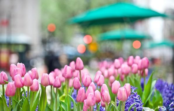 Картинка макро, свет, цветы, природа, город, огни, блики, улица, весна, бутон, тюльпаны, розовые, клумба, гиацинт