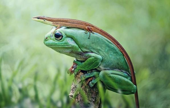Картинка природа, лягушка, ящерица, земноводное