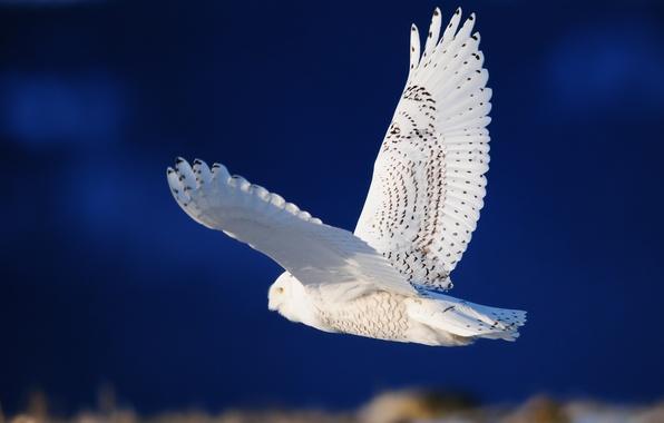 Картинка сова, птица, крылья, белая, полёт