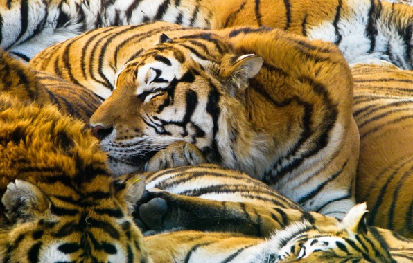 Картинка кошки, хищники, тигры, 1920x1200, cats, predators, tigers
