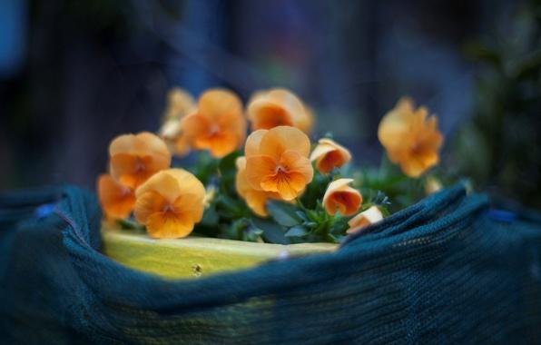 Картинка макро, цветы, фото, фон, обои, растения, лепестки, анютины глазки, цветение