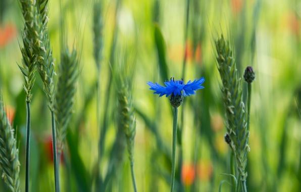 Картинка поле, цветок, макро, синий, размытость, волошка, Василек