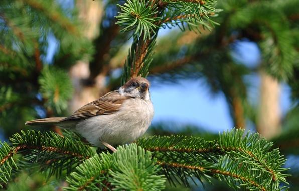 Картинка природа, птица, ель, ветка, воробей, сидит