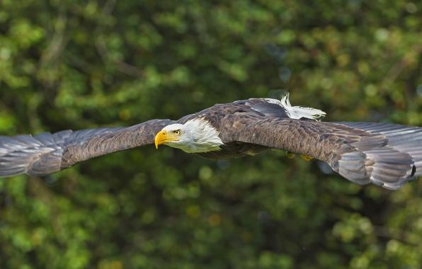 Картинка птица, крылья, хищник, полёт, Белоголовый орлан