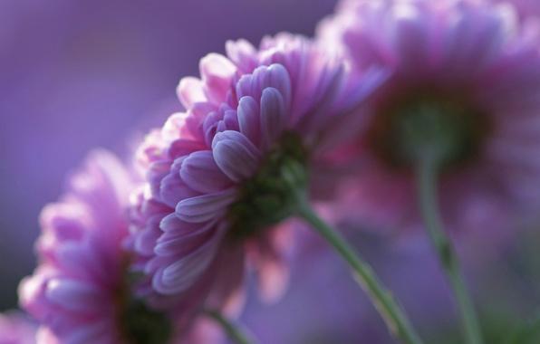 Картинка фиолетовый, цветы, фон, лепестки, розовые, Хризантемы