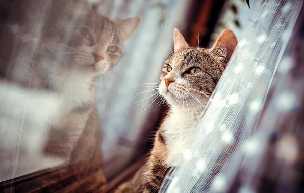 Картинка отражения, шерсть, Кот, окно, штора
