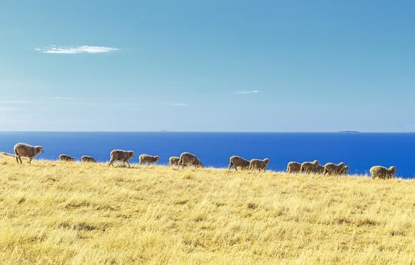 Картинка ocean, sheep, islands, herd