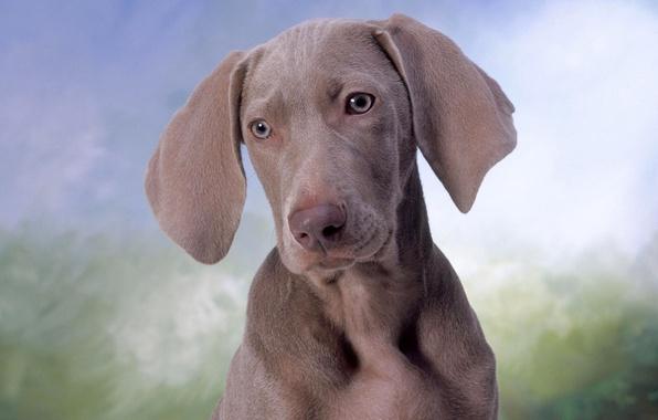 Картинка глаза, морда, собака, пес, уши, веймаранер