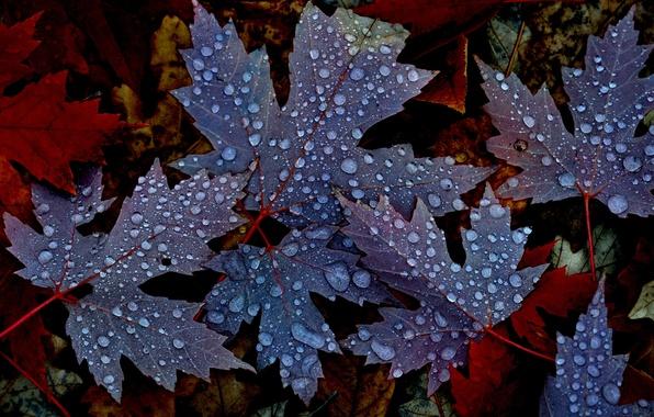 Картинка осень, листья, вода, капли, природа, роса, клен