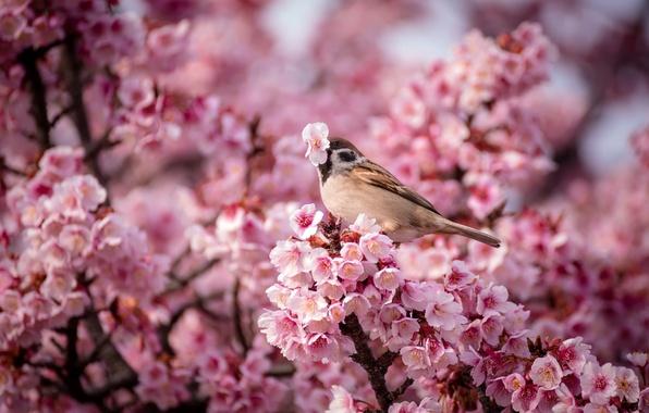 Картинка цветы, природа, птица, весна, воробей, Вишня, розовые