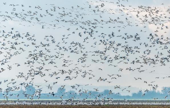 Картинка гуси, дикая природа, Snow Geese