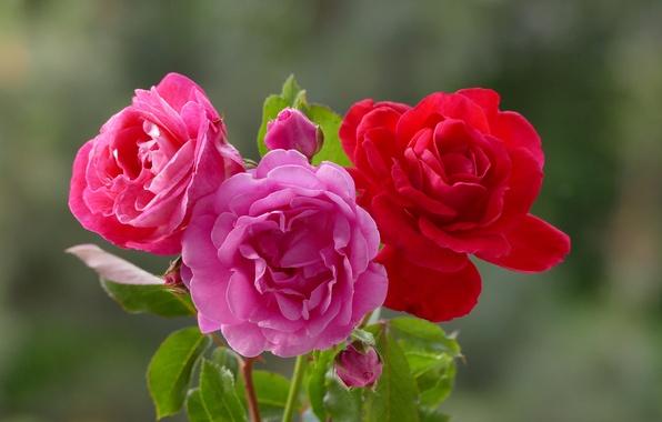Картинка фон, розы, трио, бутоны, боке