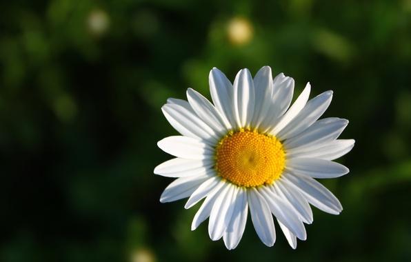 Картинка макро, желтый, лепестки, ромашка, зеленый фон, белый цветок