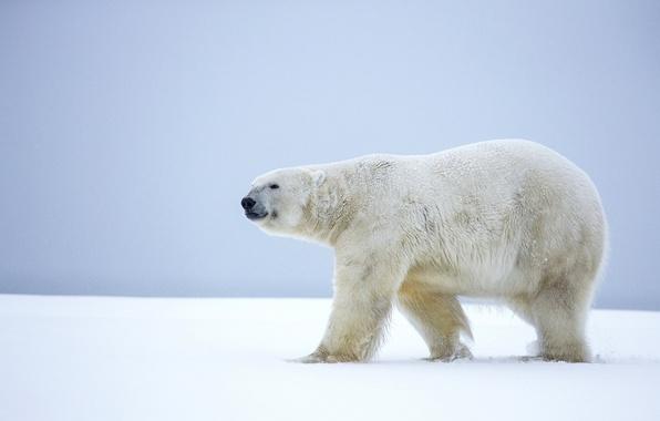 Картинка зима, снег, медведь, Аляска, белый медведь, полярный медведь