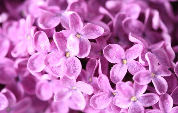 Картинка капли, макро, цветы, природа, роса, ветка, весна, сирень