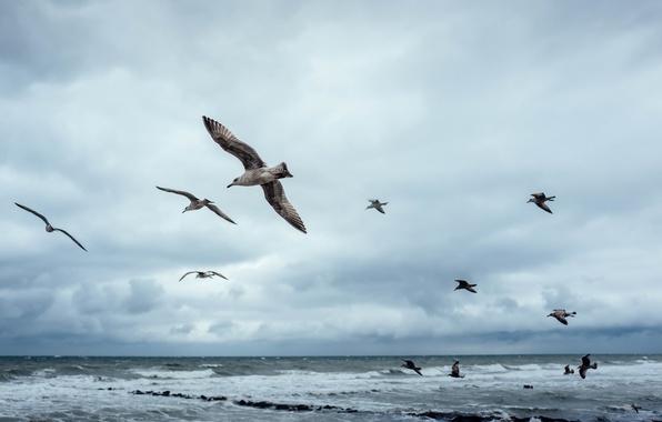 Картинка птицы, природа, Baltic Sea