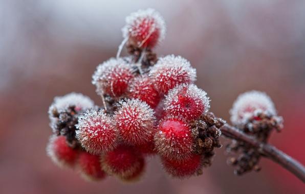 Картинка лед, иней, осень, ягоды, ветка, кристаллы