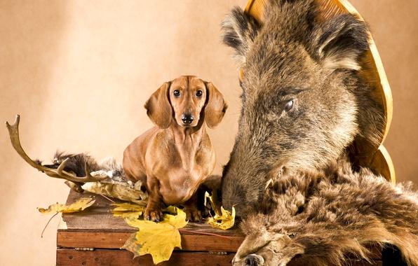 Картинка листья, собака, голова, шкура, рога, такса, сундук, кабан, охотник
