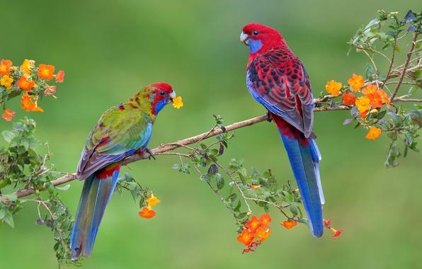 Картинка птицы, ветка, попугай, пара
