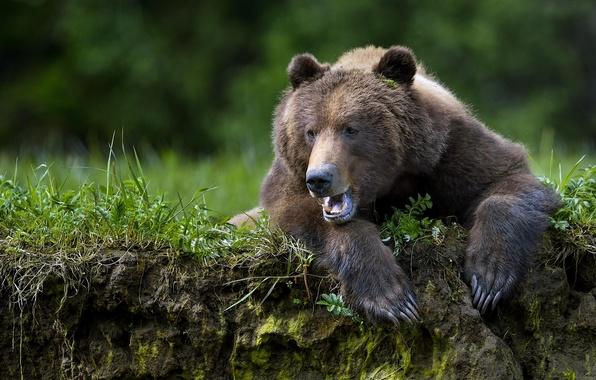 Картинка лапы, медведь, когти, зверь, топтыгин