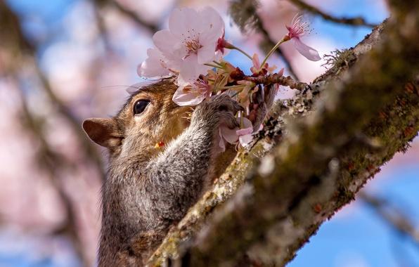 Картинка вишня, ветка, белка, цветки