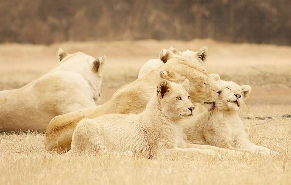 Картинка природа, фон, львы