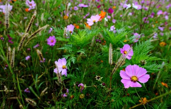 Картинка поле, трава, макро, размытость, колоски, цветочки, Космея