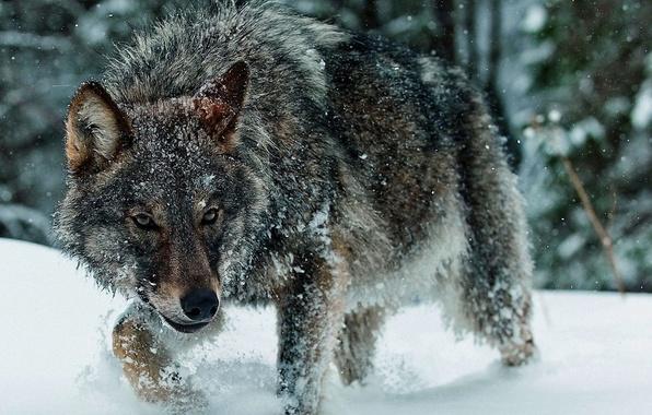 Картинка зима, снег, волк