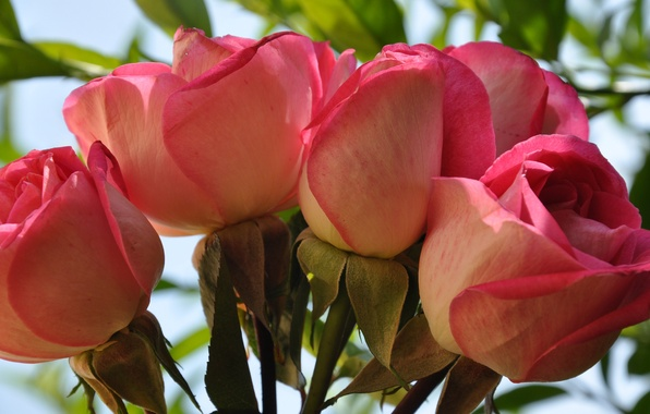 Картинка макро, розы, букет, лепестки, бутон
