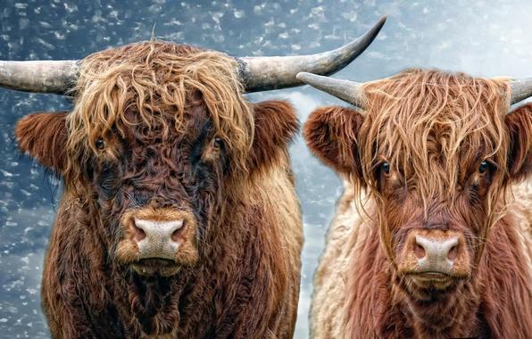 Картинка корова, бык, He and She