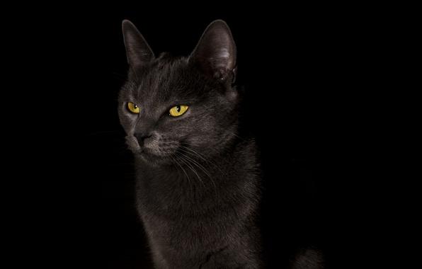 Картинка кошка, кот, фон, widescreen, обои, wallpaper, черный фон, black, широкоформатные, cat, background, полноэкранные, HD wallpapers, …